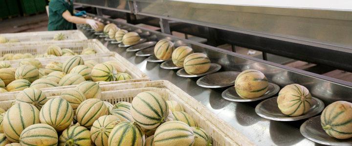 Prezzi ok per il melone pugliese di Futuragri
